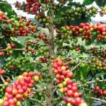 Café en planta